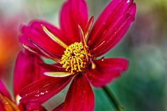 Cosmos (leeshelp) Tags: cosmos gardencosmos bipinnatus flower red closeup leeshelp macro canonr eosr canon 100mm