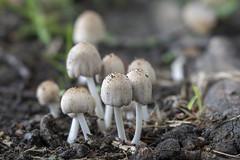 Coprinellus domesticus sl (Vilt inktzwam) - Vagevuurbossen  - Belgie (wietsej) Tags: coprinellus domesticus sl vilt inktzwam vagevuurbossen belgie sony a7rii a7rm2 sel100f28gm stf 100 mushroom fungus paddenstoel bokeh