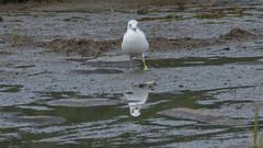 Goéland, gull - Parc national du Bic, PQ, Canada - 3953 (rivai56) Tags: réflexion sur leau goéland gull parcnationaldubic pq canada 3953