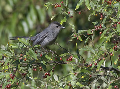 surrounded by food (Mark.Swanson) Tags: bird graycatbird dumetellacarolinensis tree cherry wildblackcherry prunusserotina comlarapark mcleancounty illinois