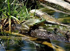 Thursday's frog (EcoSnake) Tags: americanbullfrog lithobatescatesbeiana frogs amphibians water wildlife hiding summer august idahofishandgame naturecenter