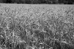 Field of wheat, in black and white. Taken on 8-13-19, The Field in Broomfield, Colorado.  ~ ~ ~ ~ ~  #CanonRebelT5 #Canon #Rebel #T5 F/6.3 37mm 1/800s ISO-125 #field #wheat #blackandwhite #TheField #Broomfield #Colorado #oooShiny #oooShinyPhotography #bla (oooshinyphotography) Tags: hashtagcolorado canonrebelt5 naturephotography coloradoshared broomfield coloradotography canon oooshiny blackandwhite landscapephotography scapecaptures colorado bnwcaptures wheat blackandwhitephotography t5 coloradolove rebel nature thefield bnw coloradocreative coloradophotography oooshinyphotography viewcolorado field coloradophotographer bnwphotography coloradocollective landscape