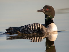 Common Loon (NicoleW0000) Tags: commonloon loon bird wildlife nature naturephotography wildlifephotography water reflection