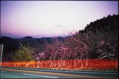 (✞bens▲n) Tags: leica m4 provia 100f summilux 50mm f14 film analogue slide japan gunma plum blossoms trees flowers night dark longexposure car lights