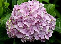 Quinta-flower (sonia furtado) Tags: quintaflower flor flower hortênsias guaramiranga ce ne brasil brazil soniafurtado