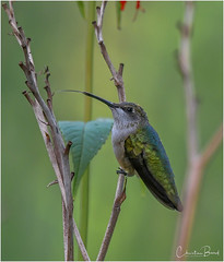 Taking A Break (Summerside90) Tags: birds birdwatcher hummingbirds rubythroatedhummingbird august summer backyard garden nature wildlife ontario canada