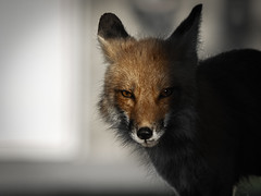 From the Shadows (aT0Mx) Tags: fox vixen vulpes red orange brighton ontario pentax pentaxlens pentaxphotography pentaxart pentaxsmc nature wildlife wildlifephotography dark dawn spring eyes sly shadow