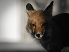 From the Shadows (aT0Mx) Tags: fox vixen vulpes red orange brighton ontario pentax pentaxlens pentaxphotography pentaxart pentaxsmc nature wildlife wildlifephotography dark dawn spring eyes sly shadow naturephotography animal cute
