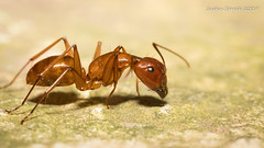 Brookside Ant 2 (strjustin) Tags: ant bug macro insect mpe