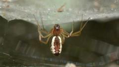 Bowl and Doily Spider hanging under its web (Treebeard) Tags: spider web bowlanddoilyspider frontinellacommunis frontinellapyramitela linyphiidae sanmarcospass santabarbaracounty california