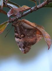 Esta vieja y desgastada mariposa Opsiphanes tamarindi busca refugio camuflándose entre las ramas de un Peregrino (Jathrofa integerrima). (cirestrepo) Tags: narrowbandedowlbutterfly opsiphanestamarindi mariposa mariposas mariposascolombia mariposascolombianas mariposasdecolores mariposasandes mariposasdeamérica mariposasdesuramérica butterflies butterfly colombianbutterfly andeanbutterfly butterfliesoftheandes butterflywatching butterflyattraction butterflylovers backyardbutterflies butterflybasics tropicalbutterflies nymphalidae opsiphanes