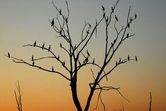 Tree Birds (rdodson76) Tags: cormorants phalacrocoracidae birds animals wildlife avian ornithology nature landscape outside outdoors sunset tree limb branch family environment habitat birdwatching birding