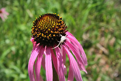 Crab spider on cone flower (Robert C. Dixon) Tags: flowers spiders crab cone tennessee