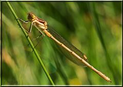NN Damselfly. ID anyone? (N.Clark) Tags: damselfly damselflies insectphotography insectmacro bugs manitobainsects
