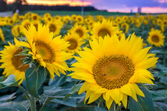 Yellow In Season (PopsDigital) Tags: sonyslta77v flower flowers sunflower sunflowers biggreen yellow bloom blooming petals stem leaves leaf summer wisconsin wi landscape floral blossom blossoming sweet beauty beautiful color colour field rural seeds