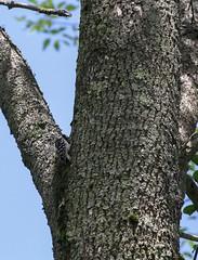 Tree Hopping (The Cleveland Kid) Tags: cornell cornelllabofornithology ithaca newyork fingerlakes birding birdwatching nature ornithology outdoors summer birds