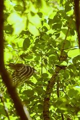 Sunshine Takeoff (The Cleveland Kid) Tags: cornell cornelllabofornithology ithaca newyork fingerlakes birding birdwatching nature ornithology outdoors summer birds