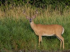 Big Buck!! White-tailed Deer. (Estrada77) Tags: deer whitetailedbuck furrycreatures mammals wildlife foxriver kanecounty illinois aug2019 summer2019 outdoors frommykayak nikon nikond500200500mm nature animals