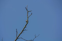 Williamson's Sapsucker (The Cleveland Kid) Tags: cornell cornelllabofornithology ithaca newyork fingerlakes birding birdwatching nature ornithology outdoors summer birds
