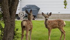 Week 33 of 52 - 2019 (Don Arsenault) Tags: deer animal nature canoneos5dmarkiii canonef2470f28lii canada camrose alberta donarsenault tree urbanwildlife wildlife