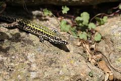 Wall lizard - Dorset. (ChristianMoss) Tags: wall lizard podarcis muralis reptile dorset abbotsbury
