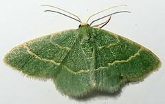 Thin-lined Chlorochlamys Moth, Chlorochlamys phyllinaria, Tubac, AZ (Seth Ausubel) Tags: geometridae az moth geometrinae