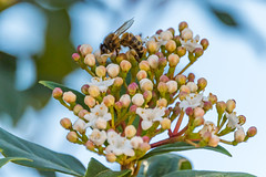 White blossom flowers and a honey bee (Merrillie) Tags: shrub woywoy flowers nature australia insect newsouthwales garden honeybee tree bee pollinating leaves green blossoms centralcoast nsw white