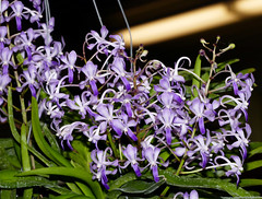the end of this series; 2019 orchids in the park, sfos show & sale, Vandachostylis (Neostylis) Lou Sneary 'Blue Horizon' hybrid orchid (explore: high was 328 on 8-22-19)  7-19* (nolehace) Tags: oitp sanfrancisco fz1000 orchidsinthepark nolehace 719 flower bloom plant goldengatepark sfos sanfranciscoorchidsociety vandachostylis neostylis lou sneary blue horizon hybrid orchid