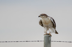 0P6A7747-2 Swainson's Hawk (edhendricks27) Tags: canon hawk swainsons wildlife nature animal