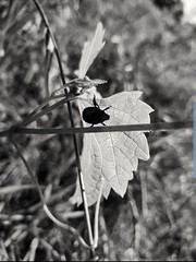 Beetle on leaf 2 #beetle #bug #leaf #blackandwhitephotography #grass #nature #plants #rural (brei.b) Tags: beetle bug nature grass plants rural blackandwhitephotography leaf