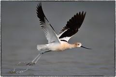 Avocet takeoff (RKop) Tags: avocet fortdesotostatepark florida raphaelkopanphotography d500 600mmf4evr