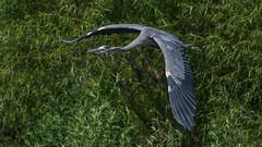Great Blue Heron  7097 (Paul McGoveran) Tags: bif bird birdinflight greatblueheron nikon500mmf4 nikond500 norfolkcounty portdover silverlake
