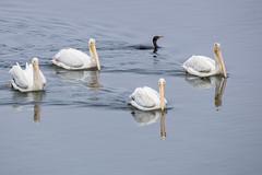 American White Pelicans & One Odd Duck (Cormorant) (marlin harms) Tags: pelecanuserythrorhynchos americanwhitepelican