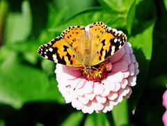 Distelfalter (Vanessa cardui) (Rolf Piepenbring) Tags: distelfalter vanessacardui distelvlinder schmetterling vlinder butterfly
