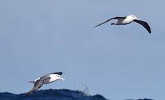 Black-browed Albatross & Shy Albatross (Ian N. White) Tags: blackbrowedalbatross thalassarchemelanophris shyalbatross thalassarchecauta atlantic capetown southafrica