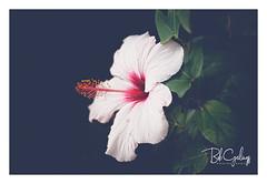 Unlocked and loaded (Bob Geilings) Tags: floral flower white red blooming mood flora bokeh closeup macro petals nature summer leaves pistel