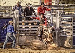 Out Of The Chute (Wes Iversen) Tags: davisburg fencefriday hff michigan nikkor18300mm oaklandcountyfair superkickerrodeo animals bullriding bulls cowboyhats cowboys fence fences gates grain livestock men rodeo vintage texture