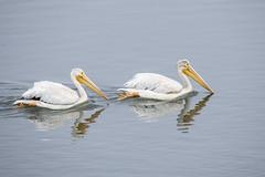 American White Pelicans (marlin harms) Tags: pelecanuserythrorhynchos americanwhitepelicans