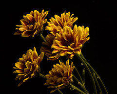 Floral Affection 1025 (Tjerger) Tags: nature beautiful beauty black blackbackground bloom blooming blooms bunch fall flora floral flower flowers green group mum orange plant portrait purple red wisconsin mums affection natural macro closeup yellow