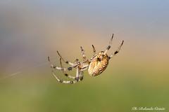 Ragno _025 (Rolando CRINITI) Tags: ragno aracnidi ragni macro montefasce