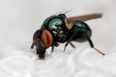 Brachyceran Fly (J Chiavo) Tags: andresito argentina canon7dii ermitañoescamado mpe65 macro macrophotography misiones misones naturaleza nature parqueprovincialguardaparquehoraciofoerster