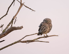 Little Owl Juv-8500425 (seandarcy2) Tags: birds owls wild wildlife littleowl woodland bucks uk birdsofprey animals perched