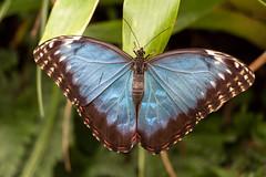 Papillon - caligo illioneus (clamar18) Tags: butterffly bleu papillon insecte france vannes nature