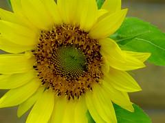 Sunflower (M.P.N.texan) Tags: flower flowering bloom blooming sunflower yellow plant