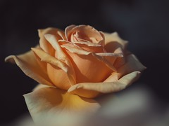 Virginal Yellow (Kito K (fxkito2)) Tags: japan tokyo macro flower omd rose bokeh nature closeup lumix fineart olympus yellow color dof