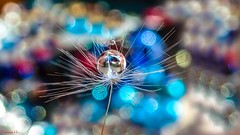 Dandelion - 7249 (✵ΨᗩSᗰIᘉᗴ HᗴᘉS✵90 000 000 THXS) Tags: dandelion tg6 macro olympus drop droplet bokeh color hensyasmine