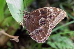 Papillon  - caligo illioneus (clamar18) Tags: butterffly insecte nature papillon caligo illioneus vannes bleu