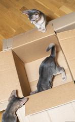 Cardboard Boxes 1 (peter_hasselbom) Tags: cat cats kitten kittens abyssinian blue 3cats 3kittens 12weeksold cardboardbox cardboard box boxes hardwoodfloor flash 1flash
