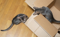 Cardboard Boxes 2 (peter_hasselbom) Tags: cat cats kitten kittens abyssinian blue 2cats 2kittens twocats twokittens 12 12weeksold cardboardbox cardboard box boxes hardwoodfloor flash 1flash