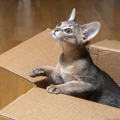 Cardboard Boxes 6 (peter_hasselbom) Tags: cat cats kitten kittens abyssinian blue 12weeksold cardboardbox cardboard box boxes hardwoodfloor flash 1flash 7200